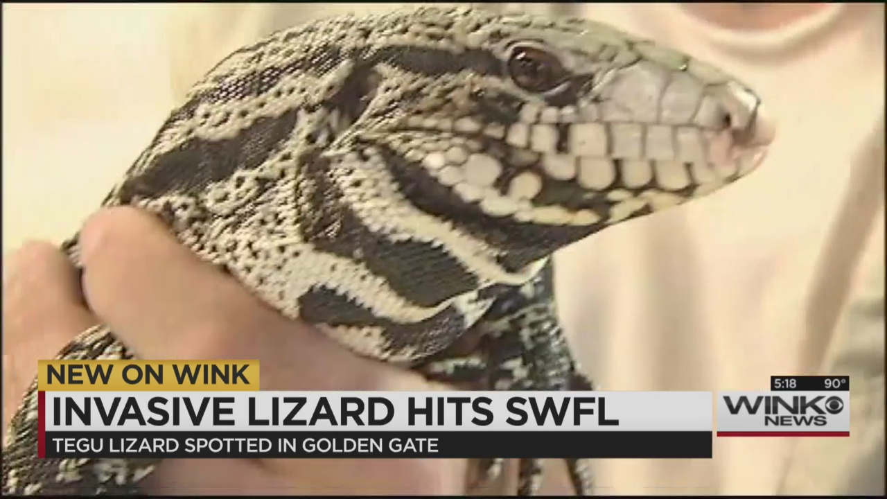 Invasive Lizard Spotted In Swfl Experts Warn Residents