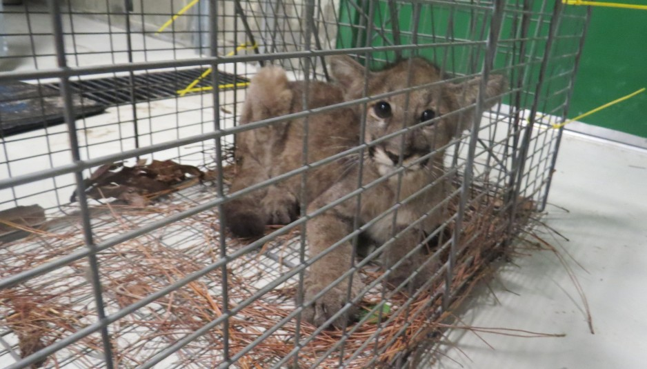 Wildlife Officials Trap Orphaned Florida Panther Kitten
