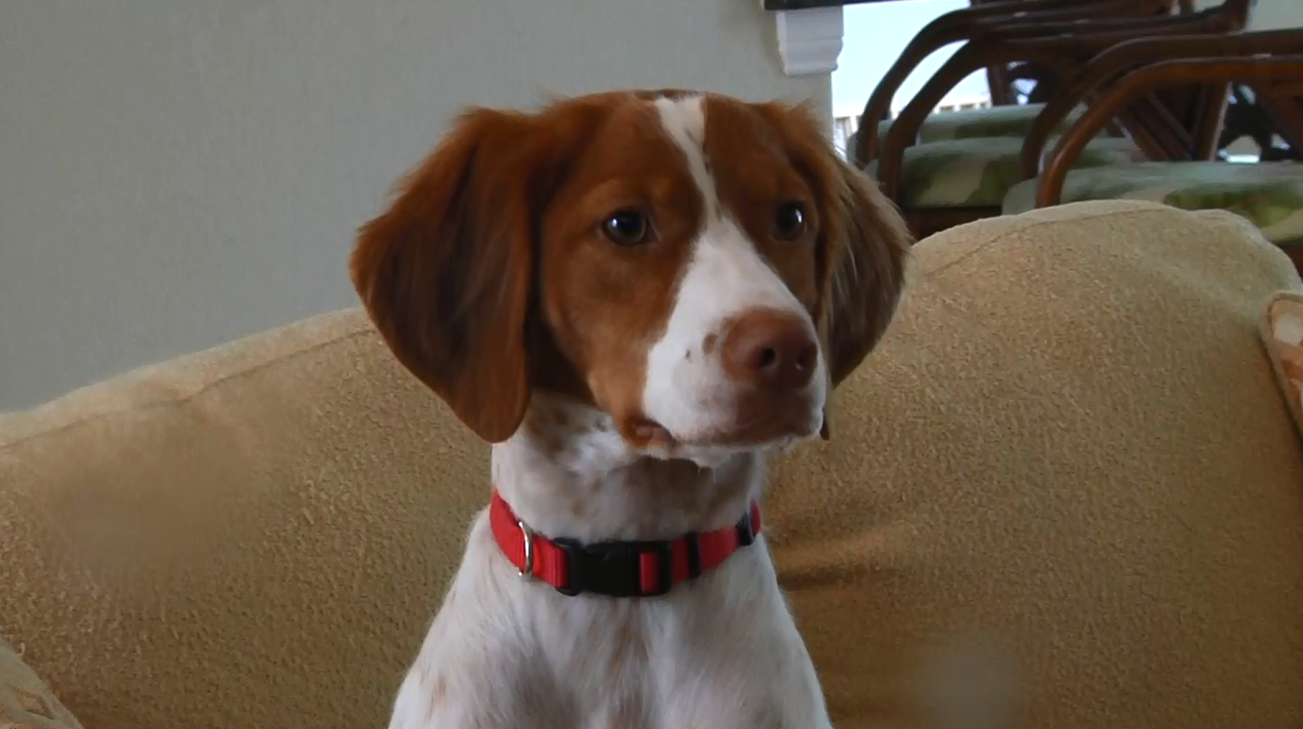 2 Year Old Brittany Dog From Port Charlotte To Compete At
