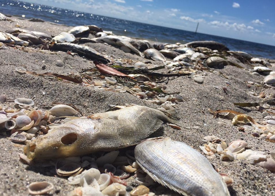 FILE: Dead fish at Englewood Beach. (Credit: WINK News/FILE)
