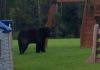 bear-sighting-estero