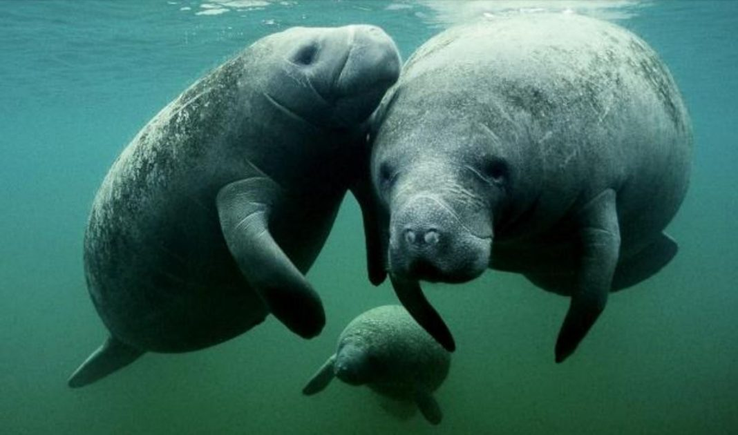 FILE: Manatees swimming as a group. (Credit: WINK News/FILE)