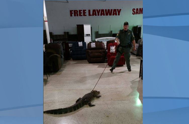 Officers escort browsing alligator out of furniture store