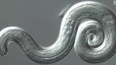 Evidence of the Rat Lungworm parasite found in Leon County