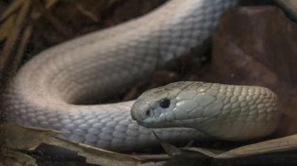 Deadly Snakes, Alligators Discovered in Reptile Bust
