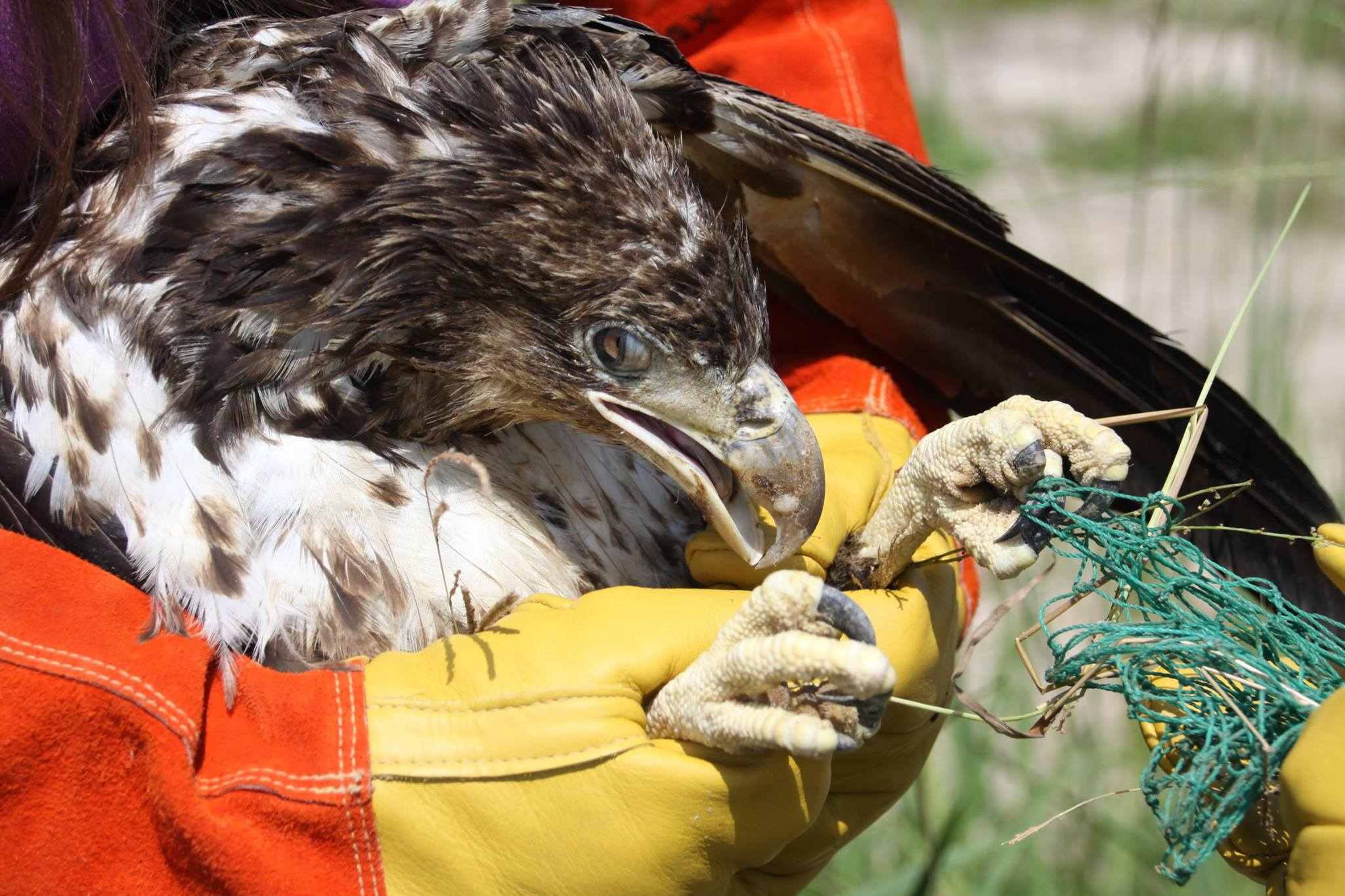 Young Eagle Rescued At Florida Waste Facility Wink News