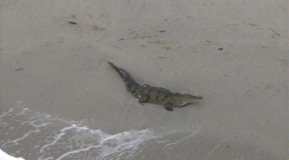 A damn crocodile was removed from a Florida beach this afternoon