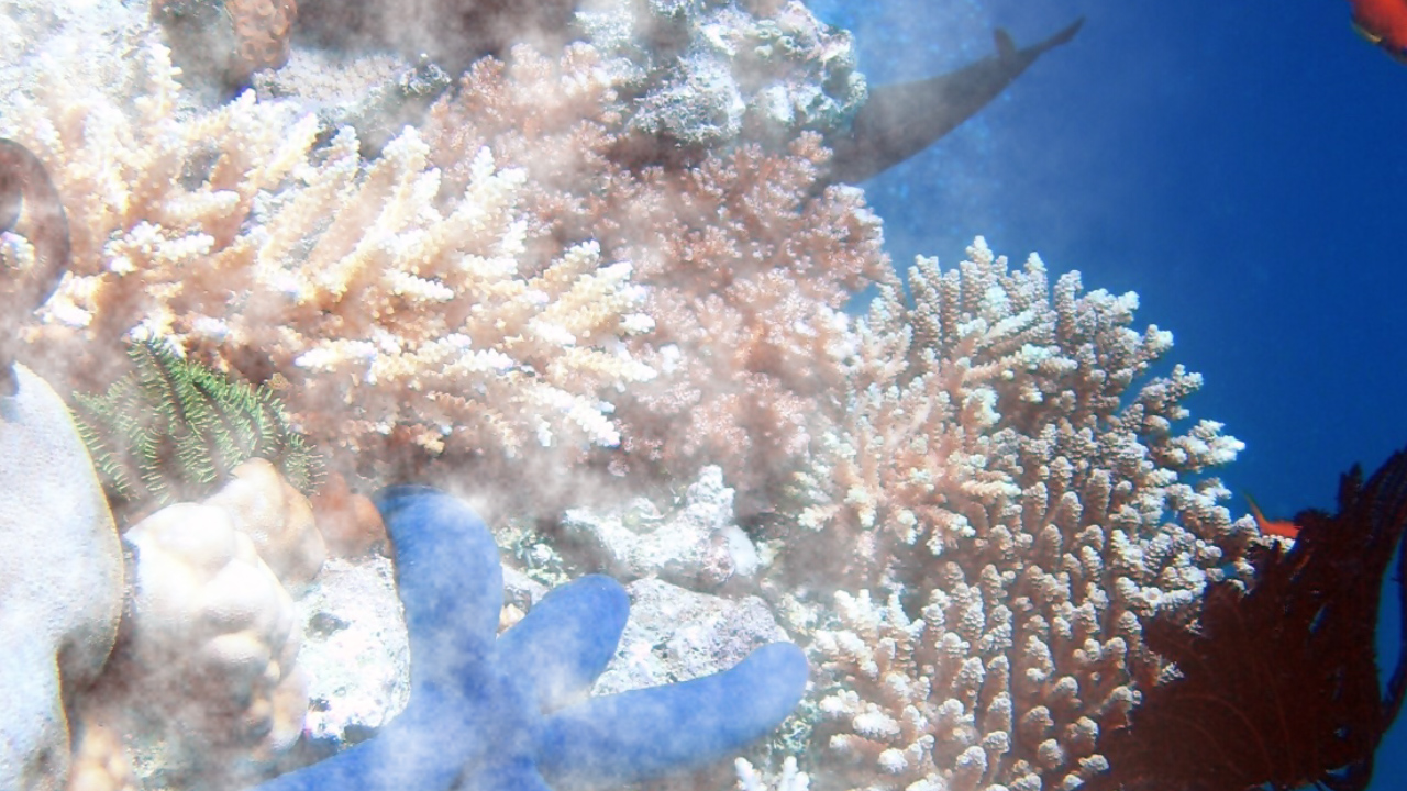 coral reefs and bleaching phenomenon Hawaii's coral reefs experienced severely damaging coral bleaching events in 2014 and 2015, which have caused mortality throughout the archipelago it is predicted that mass bleaching will become an annual phenomenon in hawaii by 2050 and current strategies to promote coral growth following bleaching and other damaging events are decidedly.