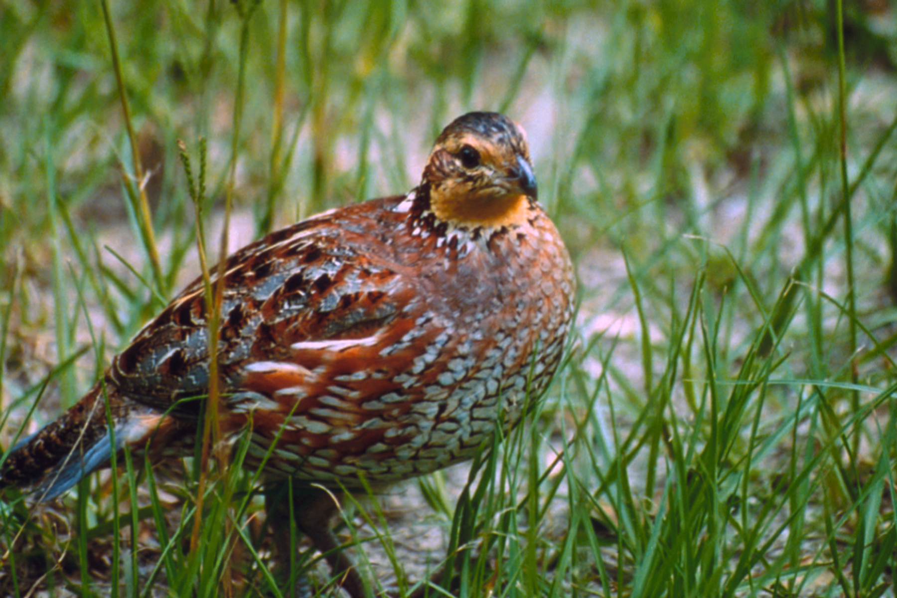 Fwc wants you to report northern bobwhite quail sightings for Fish and wildlife florida