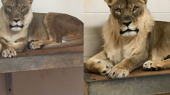 Lioness grows small mane in 'very curious case' at Oklahoma zoo