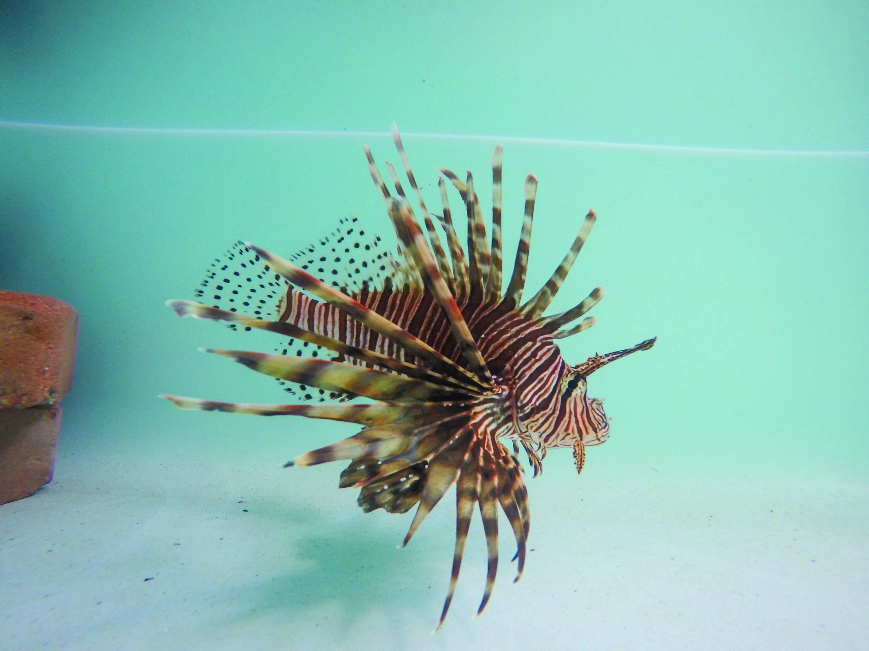 Fgcu Scientists Study Lionfish In Effort To Eradicate Invasive Species