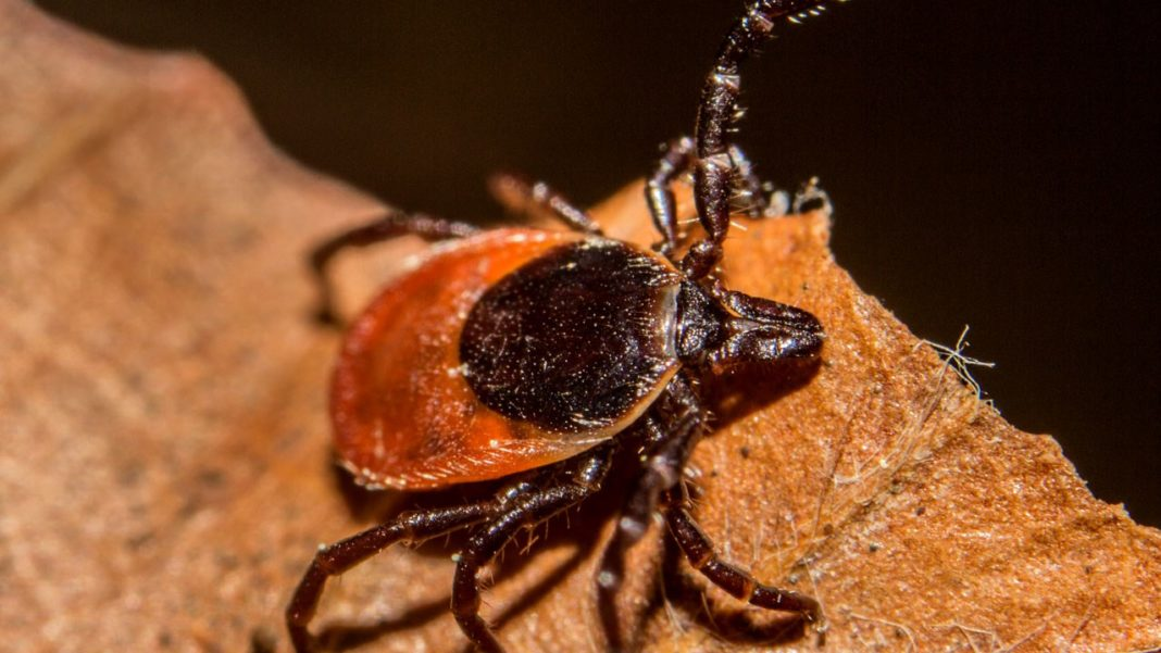 Ticks that carry Lyme disease are spreading fast