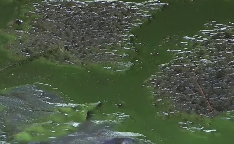 Is Green Algae Safe To Drink