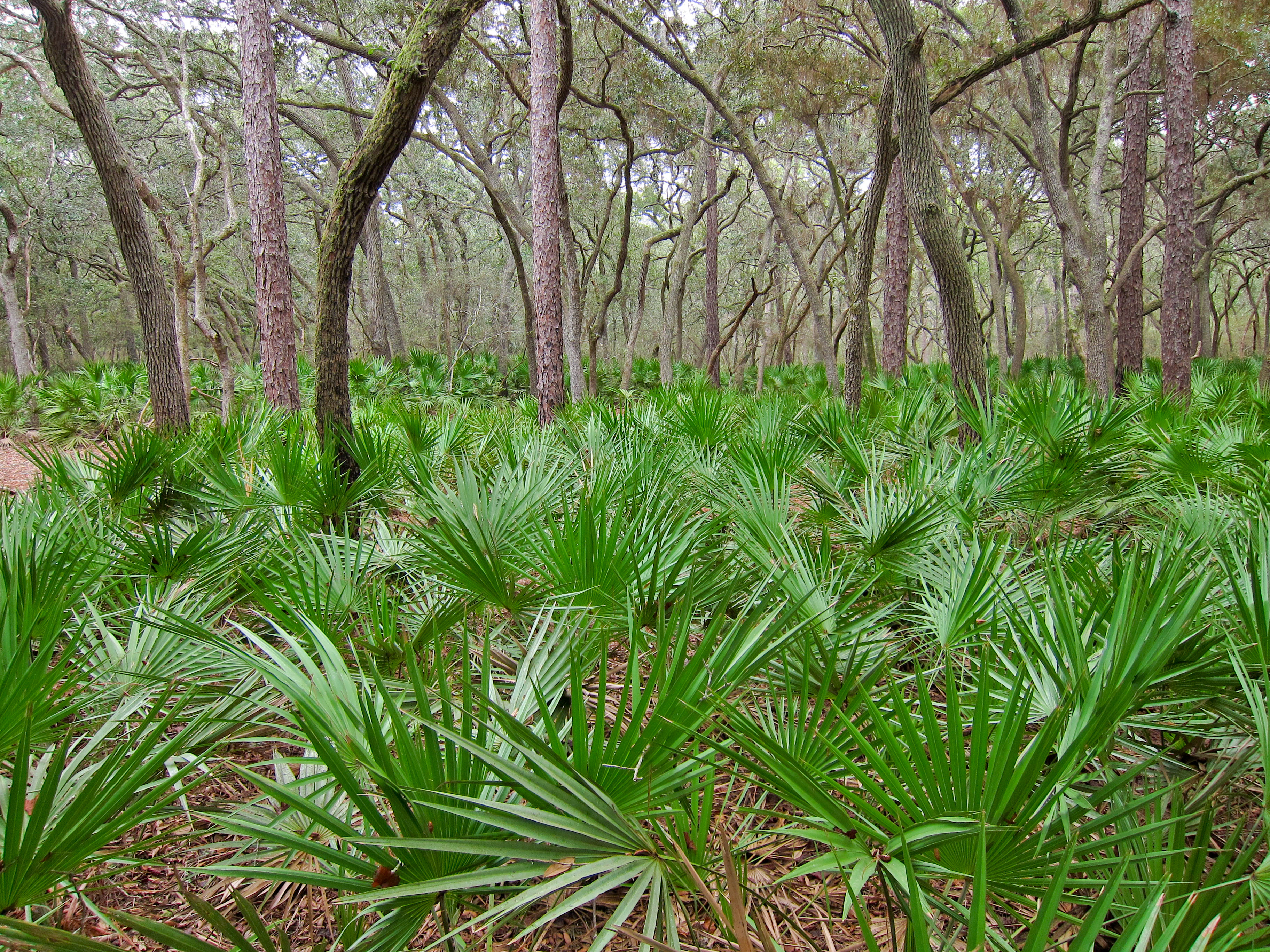 permit now required to pick berries from saw palmetto plants in florida