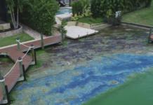 An abundance of blue-green algae. Photo via WINK News.