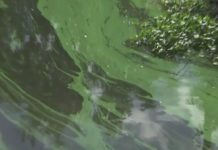 Blue-green algae build up in a SWFL canal. Photo via WINK News.