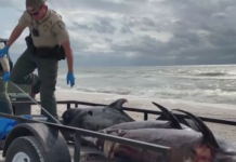 Florida Wildlife Commission picks up dead dolphins that have washed ashore on a SWFL beach. Photo via WINK News.