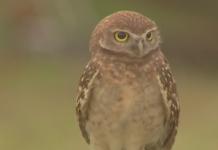 A Burrowing Owl. Photo via WINK News.