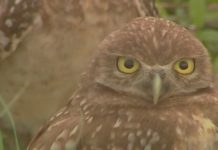 A burrowing owl in Cape Coral. Photo via WINK News.