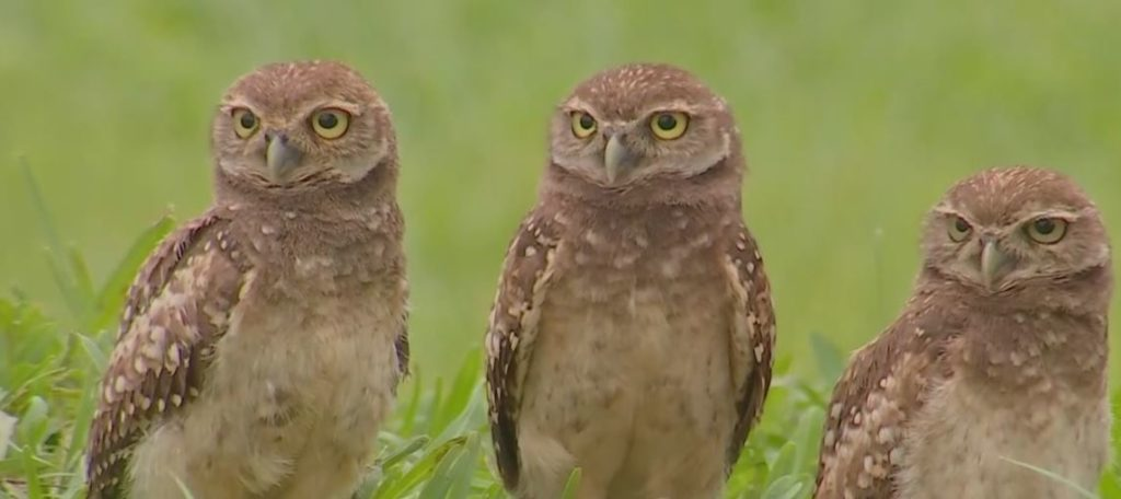 Cape Coral burrowing owls stoically gaze. Photo via WINK News.