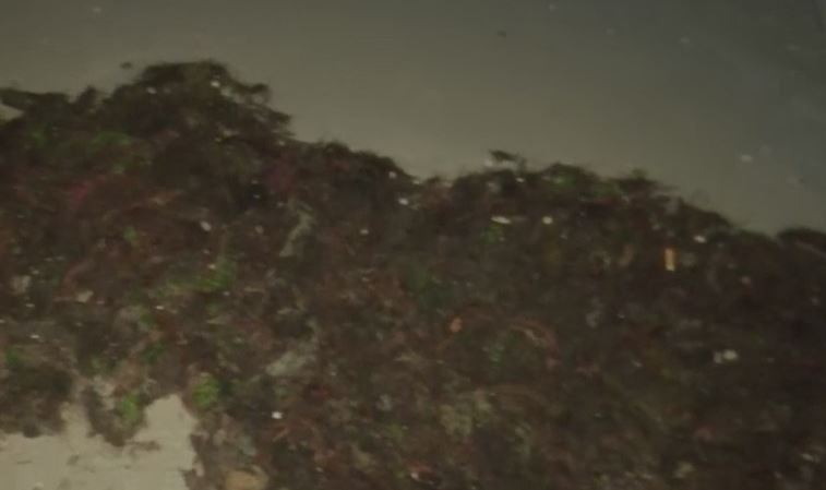Chunks of seaweed at Fort Myers Beach. Photo via WINK News.