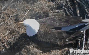 Harriet the eagle with eaglet. Photo via Dick Pritchett.