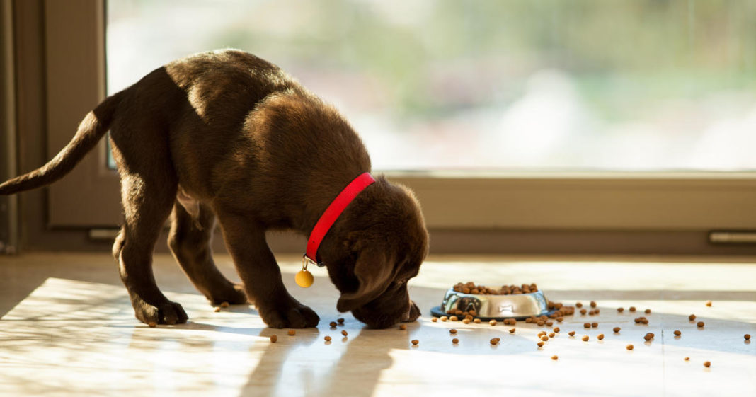 A pet dog munching on food. Photo via CBS News.