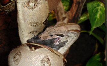 Boa constrictor. Photo via Wikipedia.