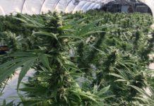 Marijuana plant. Photo via News Service Florida.