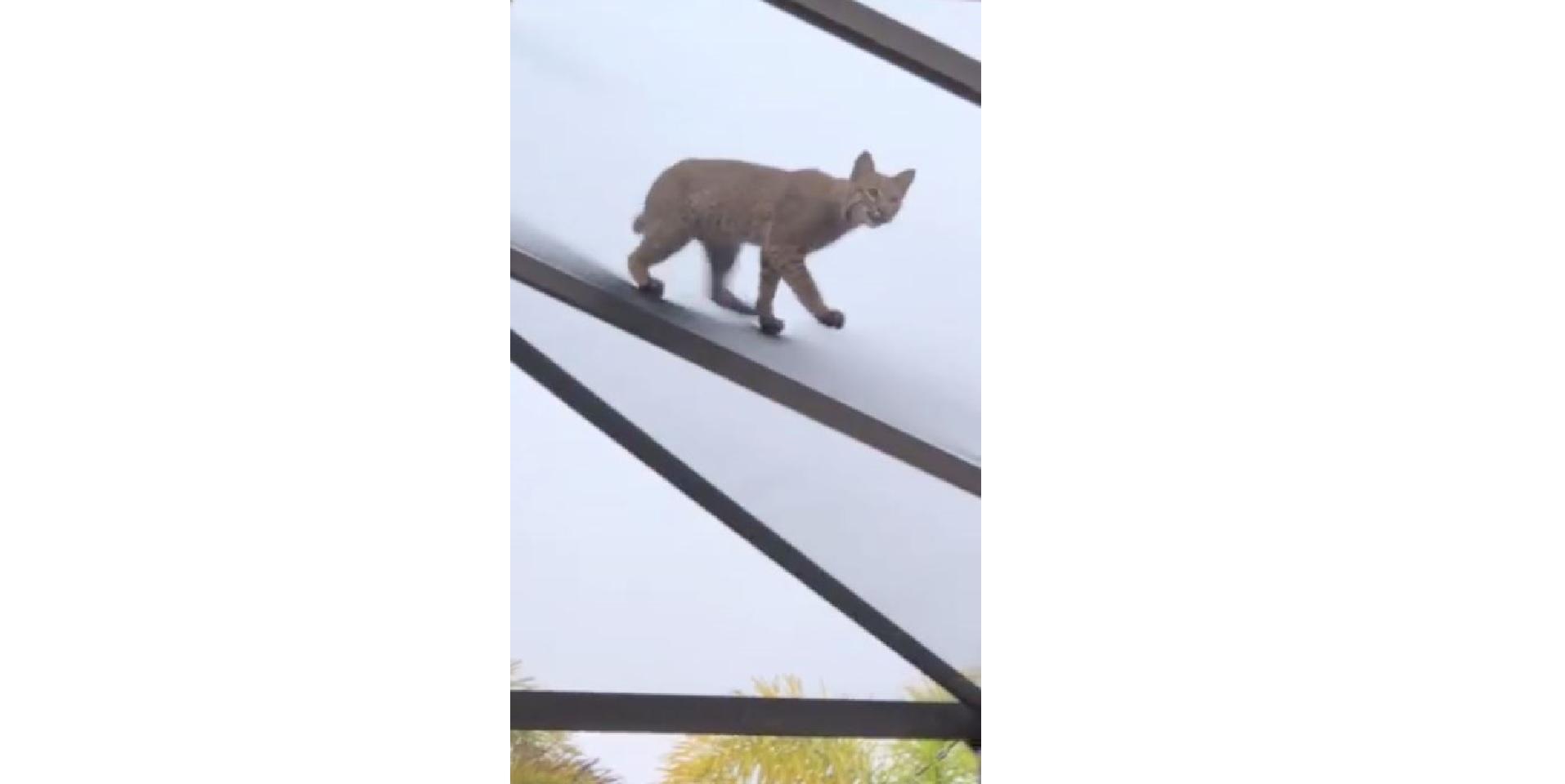 Todd Matthews - Punta Gorda woman records Bobcat chasing a squirrel