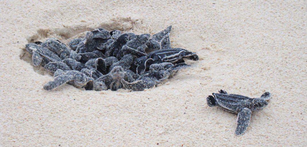 Leatherback sea turtles. (Wikipedia photo)