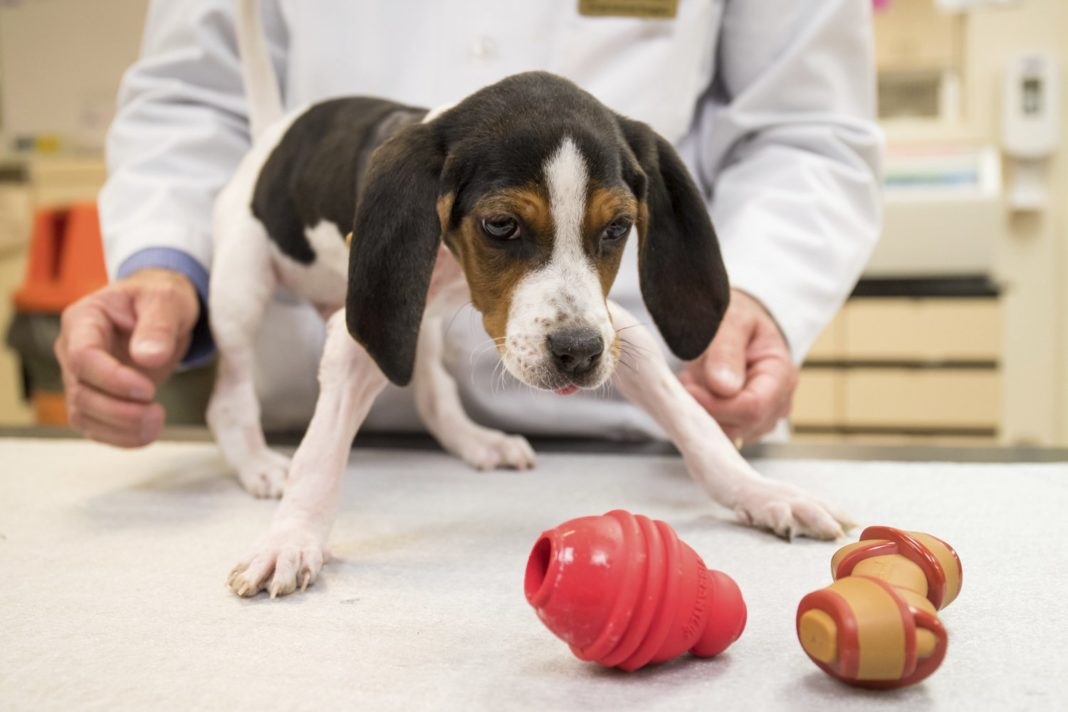 This photo provided by Oklahoma State University Center for Veterinary Health Sciences, on Thursday, Jan. 31, 2019, shows Milo the puppy recovering after another procedure to help fix his paws in Stillwater, Okla. Milo was born with his front paws facing up instead of down and had another procedure as veterinarians in Oklahoma try to help the dog learn to walk. A statement from the Oklahoma State University's Center for Veterinary Health Sciences in Stillwater says Milo was released Friday, Feb. 1 but still needs therapy. (Oklahoma State University Center for Veterinary Health Sciences via AP)