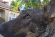 Shepherd's service dog, Spree. (WINK News photo)