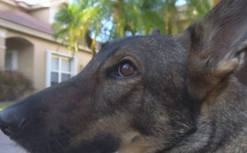 Shepherd's service dog, Spree. (WINK News photo)