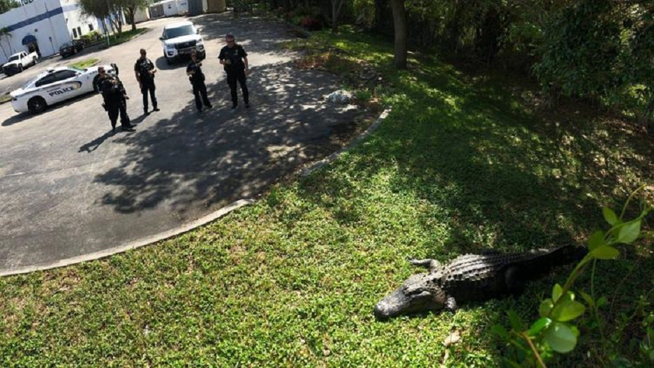 About 12-feet-long and 750 pound alligator. (Credit: Jupiter Police Dept.)