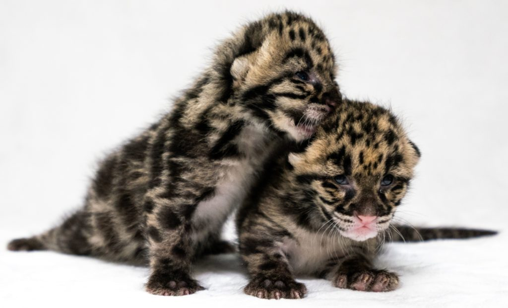 Jean and Janet clouded leopard kittens snuggle together. (Credit: Naples Zoo)