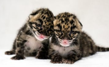 Jean and Janet clouded leopard kittens snuggle together. (Credit :Naples Zoo)