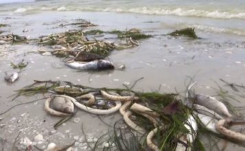 Red tide leads to the death of marine life in March. (Credit: WINK News)
