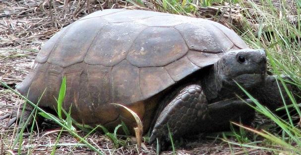 Free Florida Gopher Tortoise Day Celebration at Naples Preserve on March 23