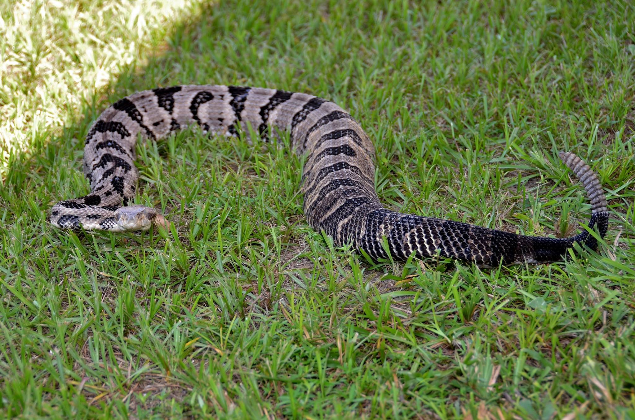 Venomous snakes to watch out for in Florida