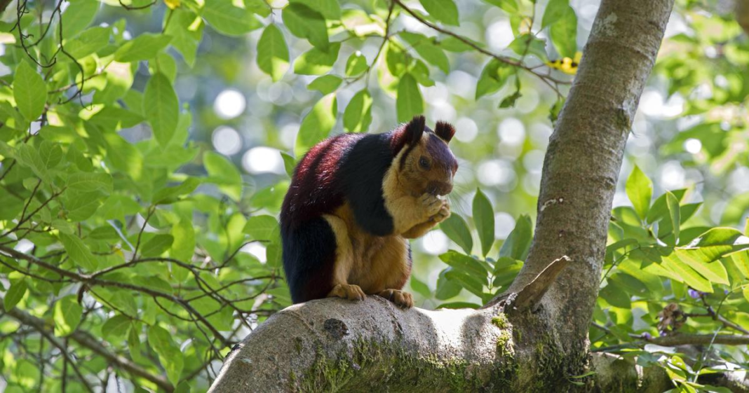 Exotic Malabar giant squirrels. (Credit: CBS News)