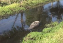 Manatee stuck in a canal. (Credit: WINK News)