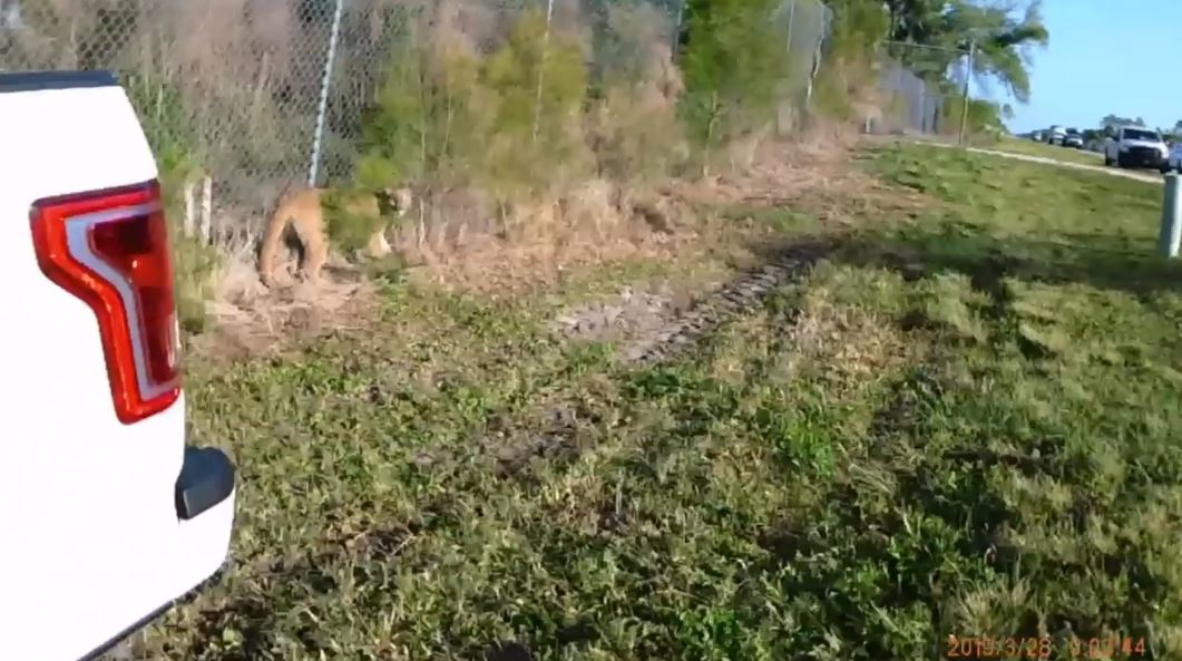 Caught On Cam Fwc Officers Corral An Endangered Panther