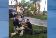 CCSO captures 'massive gator.' (Credit: CCSO)