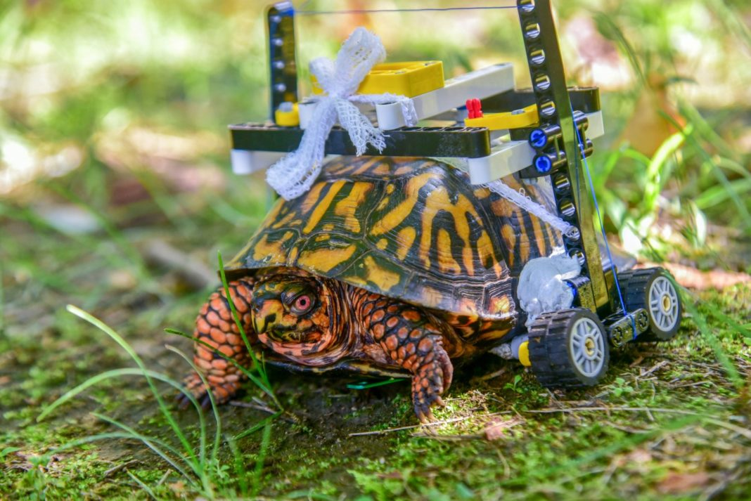 Injured turtle's Lego wheelchair. (Credit: The Maryland Zoo)