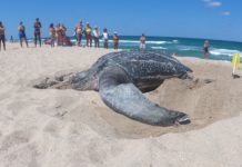 Leatherback turtle nesting on the beach. (Credit: Loggerhead Marinelife Center)