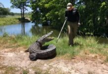 Ray the FWC trapper releasing the gator. (Credit: FWC)