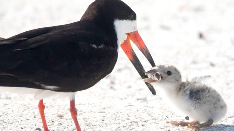 A seabird gives a chick a cigarette butt at St. Pete Beach. (Credit: CBS via Karen Mason)