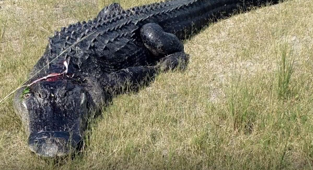 Alligator that partially ate a man in Florida. (Credit: Polk County Sheriff's Office)