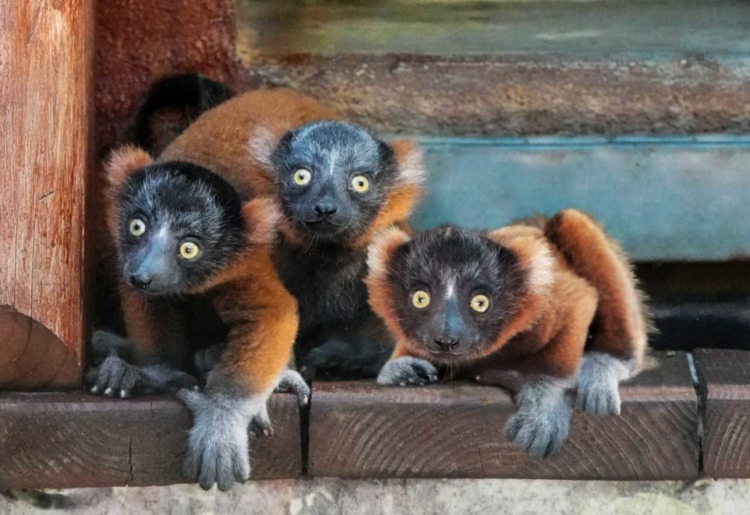 Critically endangered Red-Ruffed Lemurs born at Naples Zoo. (Credit: Naples Zoo)